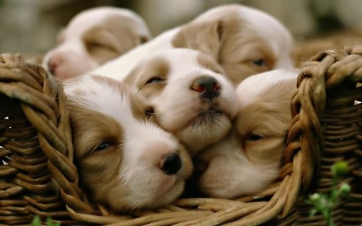 cute-puppies-1
